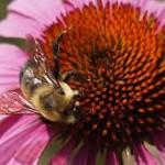 echinacea w bee
